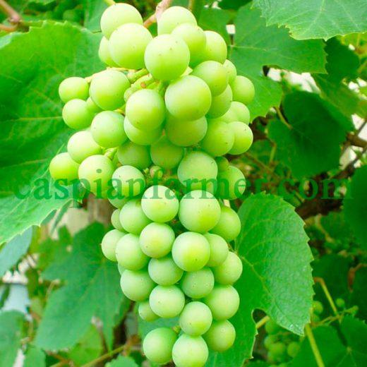 نهال انگور مثقالی