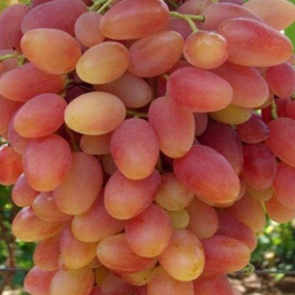 نهال انگور شاهرودی