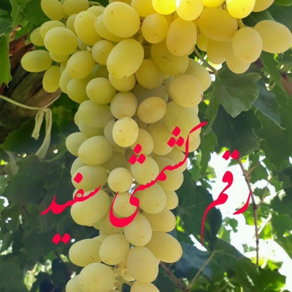 نهال انگور بیدانه (5)