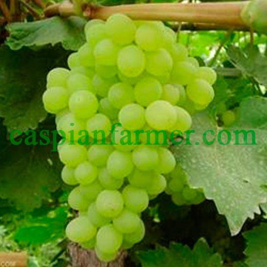 نهال انگور شاهانی سفید