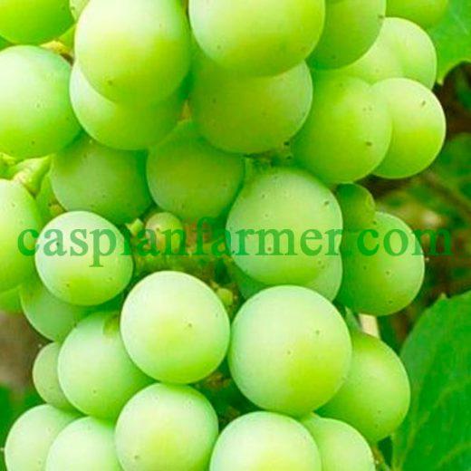 نهال انگور لعل سفید