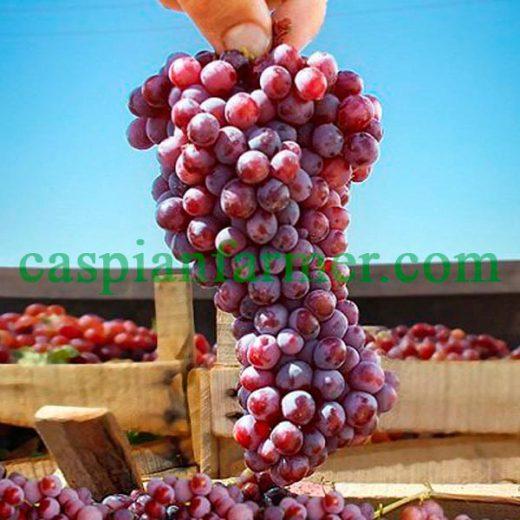 نهال انگور کر رویه قرمز
