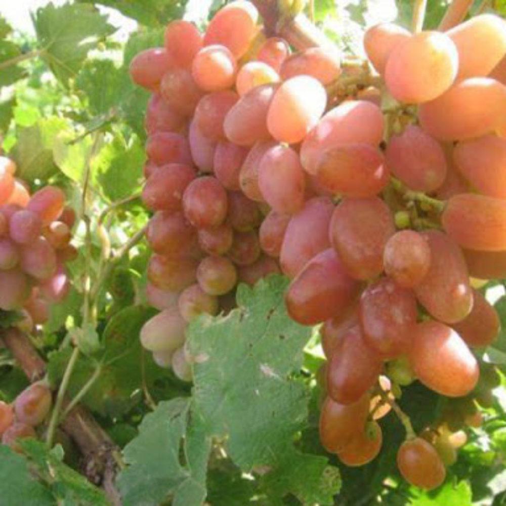 نهال انگور کلاهداری. نهالستان کشاورزی کاسپین (1)
