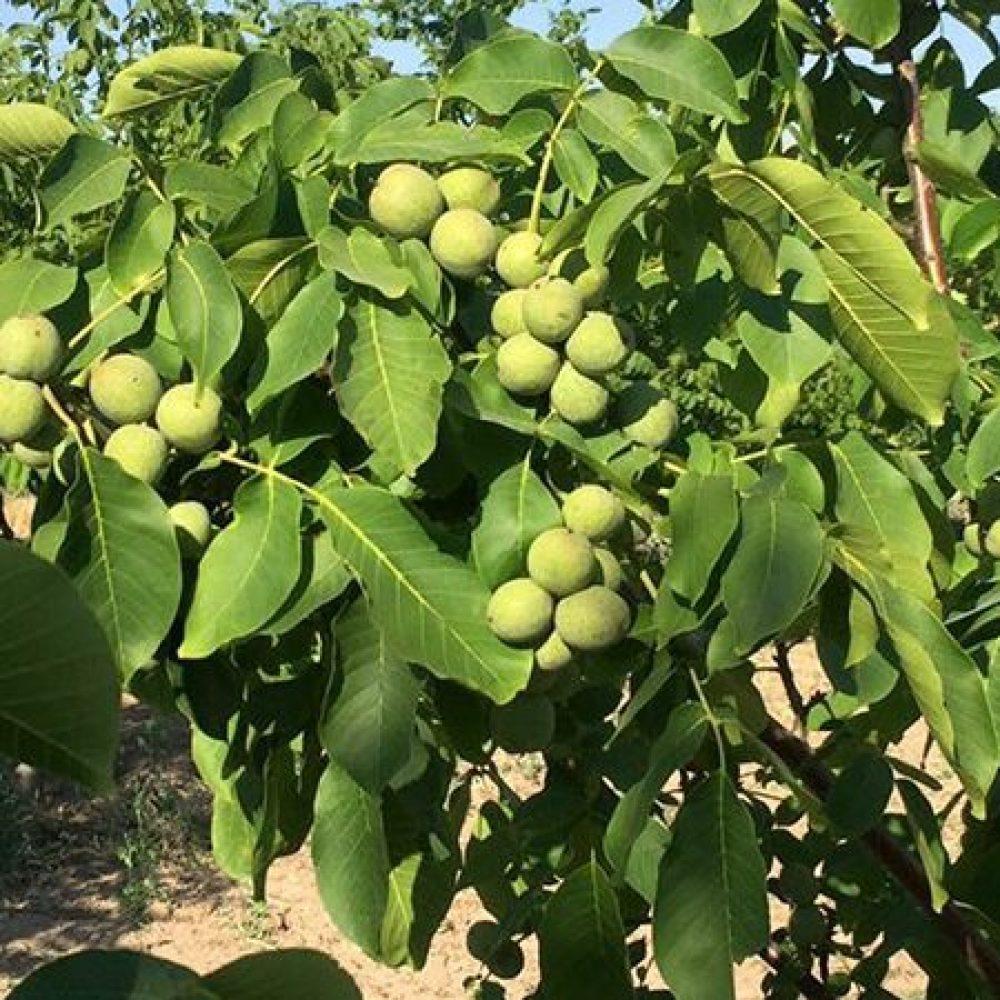 chandler-walnut-tree-769×450